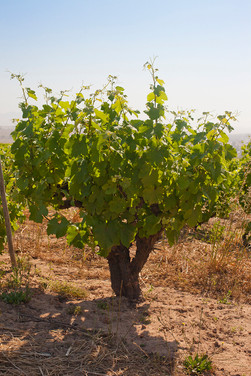 Old bus vine Syrah
