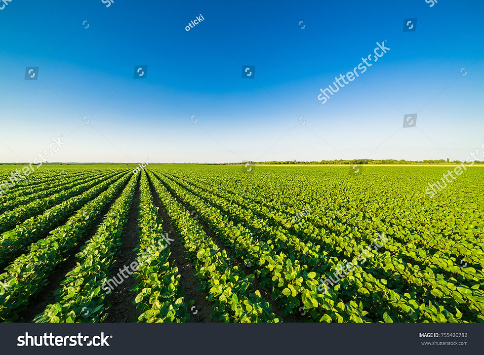 stock-photo-green-ripening-soybean-field