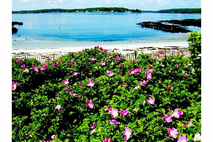 Fowler's Beach roses2
