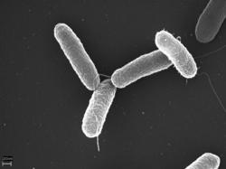 Salmonella typhimurium