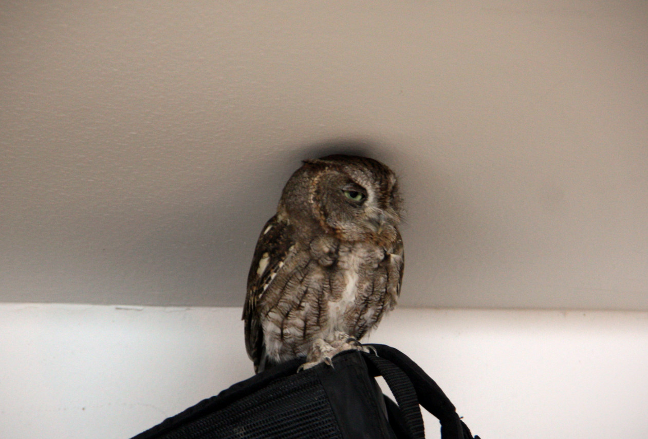 For a few nights during construction, this owl flew into the garage and kept us company.