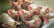 PorcineF-NewbornPiglets-300x157.jpg