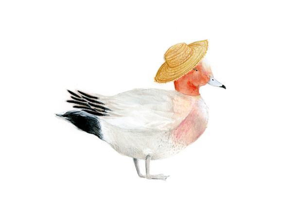 Eurasion Wigeon