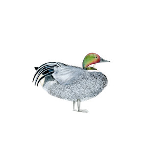 the falcated duck.jpg