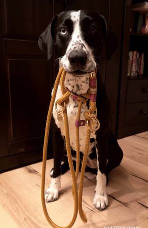 Hermione is wearing her TAU retriever leash