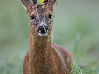 Roe Deer Love Buttercups!