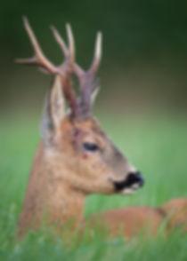 Blood on a roe deer.