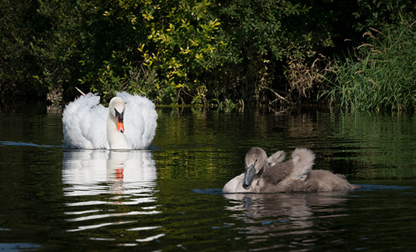 Young swan.