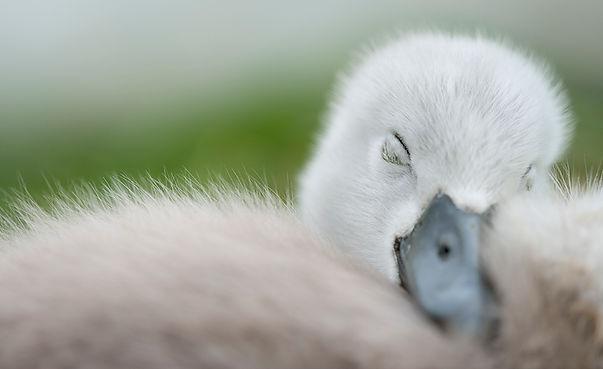 Baby swan sleeping