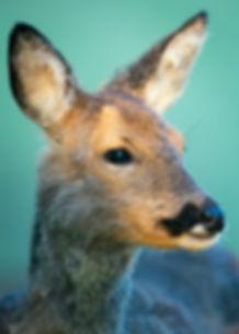 Female roe deer.