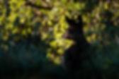 Deer laying down in a bush.
