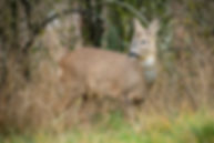 Gorget patches on a deer.