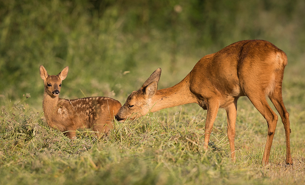 Kinder licks her fawn.