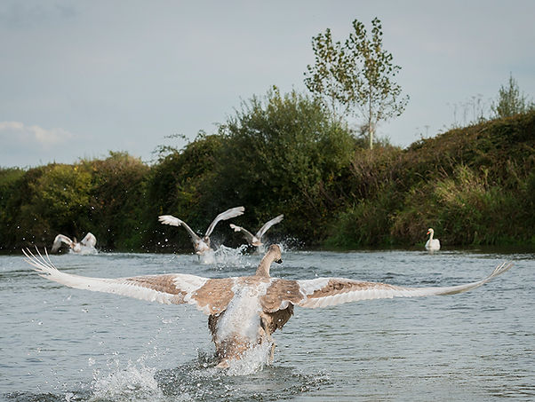 Swans learning to fly