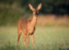 Female roe deer in summer coat.