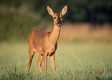 Female roe deer in summer coat.