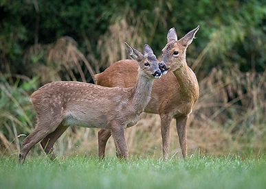 Female roe deer licking her fawn.