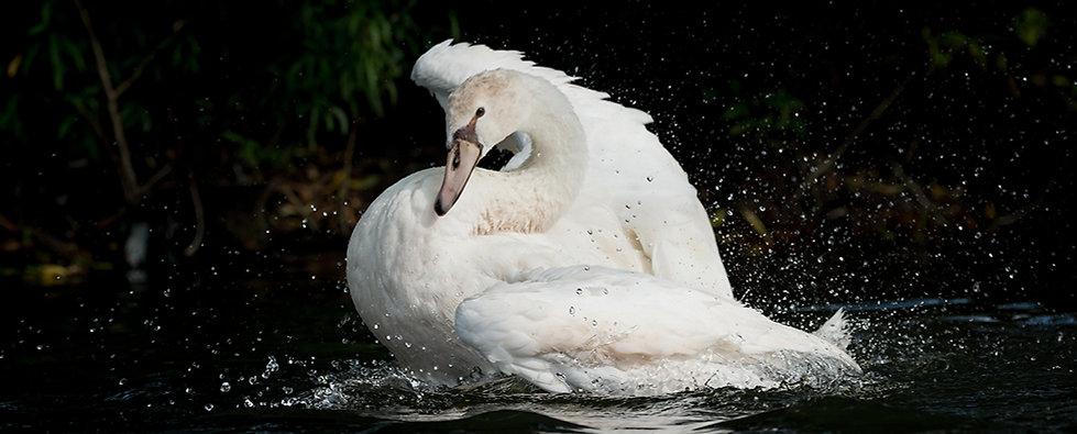 Polish swan