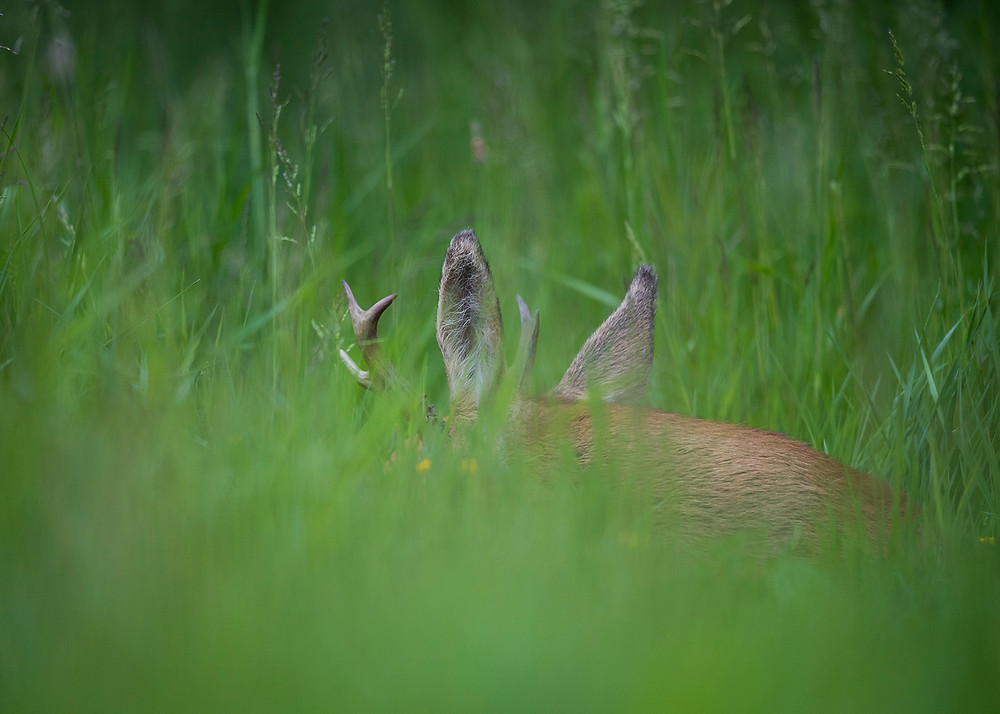 Male roe deer asleep.
