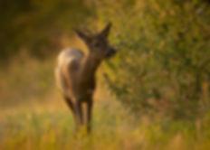 Roe deer sniffing vegetation.