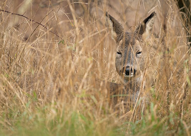 Roe deer laying down in grass