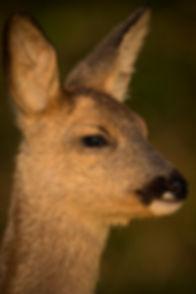 Young roe deer.