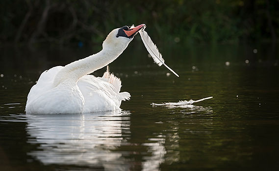 Swan pulling out feathers