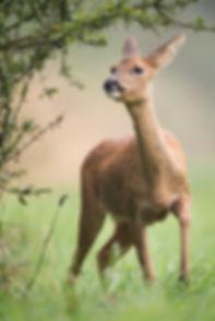 Female deer feeding.
