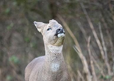 Roe deer looking up in the rain.