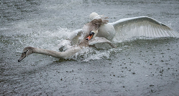Swan attacking another swan