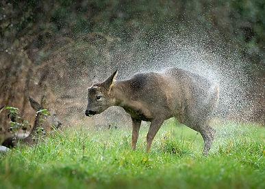 Roe deer in the rain.