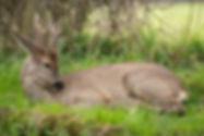 Roe deer laying down.