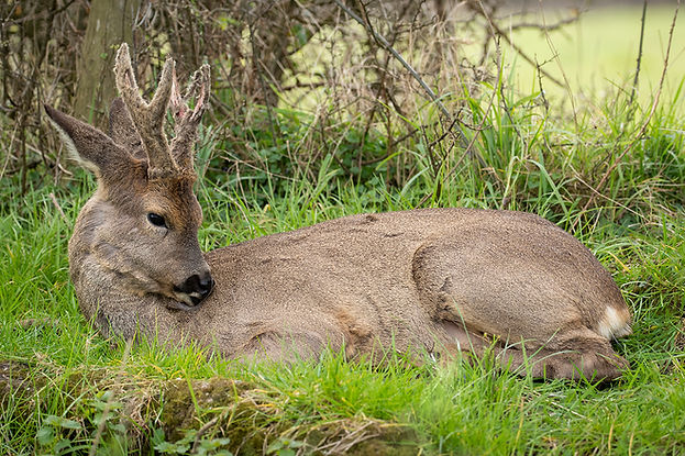 Roe deer laying down.