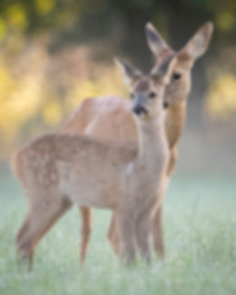 Roe deer mother and fawn.