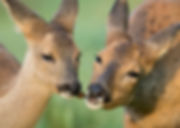 Mother roe deer and fawn.