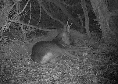 Sleeping deer, roe deer