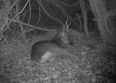 Sleeping deer, roe deer