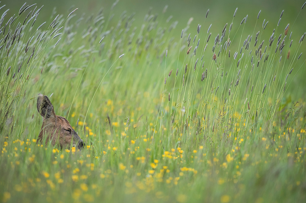 Roe doe, resting in grass.