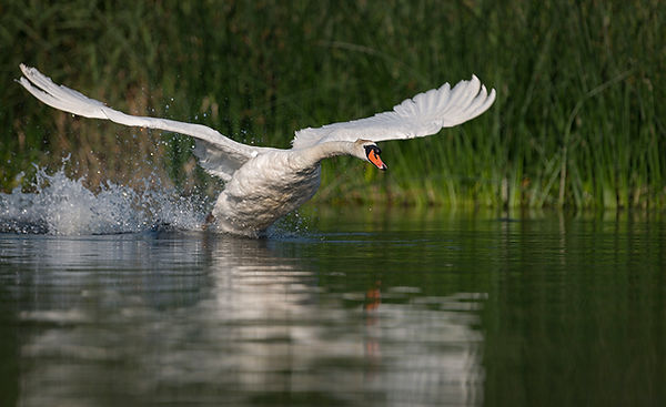 Swan flying across water