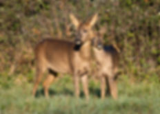 Roe deer and fawn.