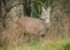 Roe deer showing white patches on this neck.