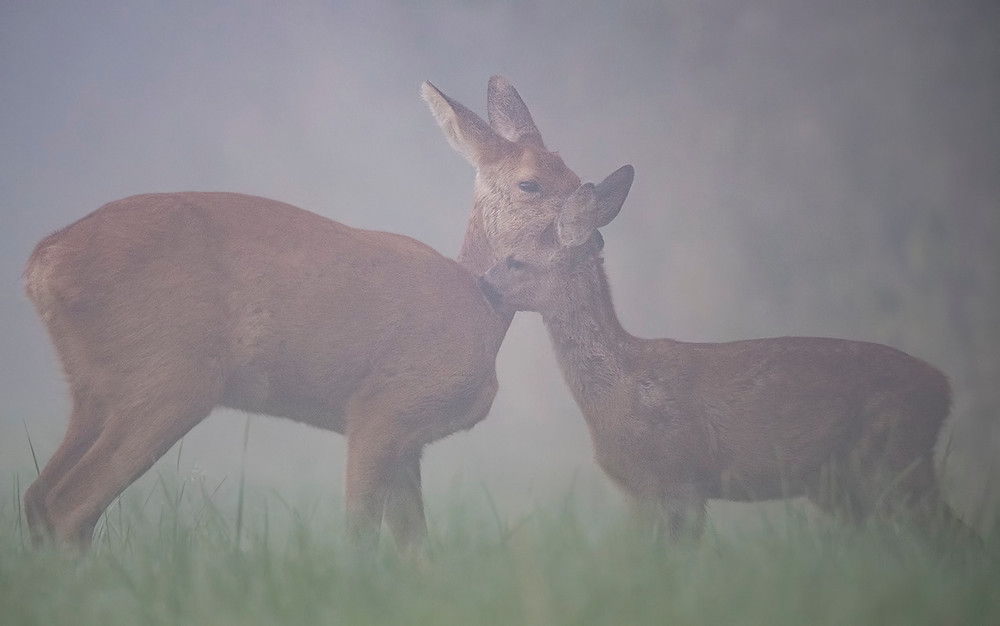 Mother and doe groom each other.