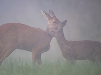 A Foggy Glimpse Of Kinder With Her Fawns
