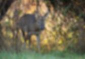 Deer walking through gap in bushes.