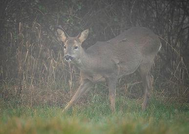 Female roe deer grooming.