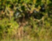 Roe deer hiding in bushes.