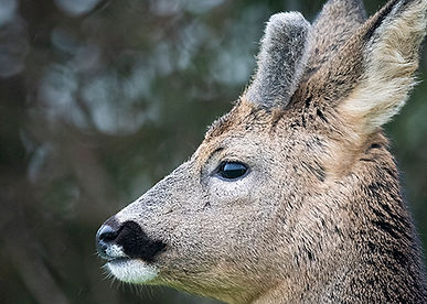 Male roe deer growing antlers.