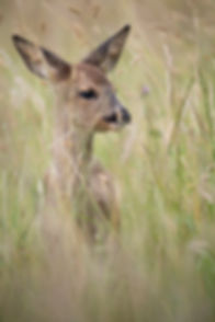 Fawn in long grass.