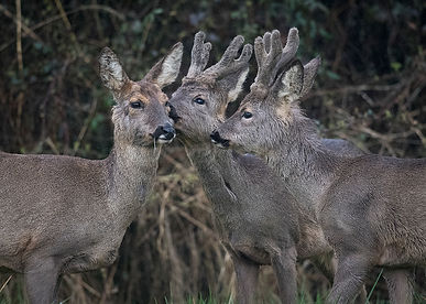 Two male roe deer lick their mother