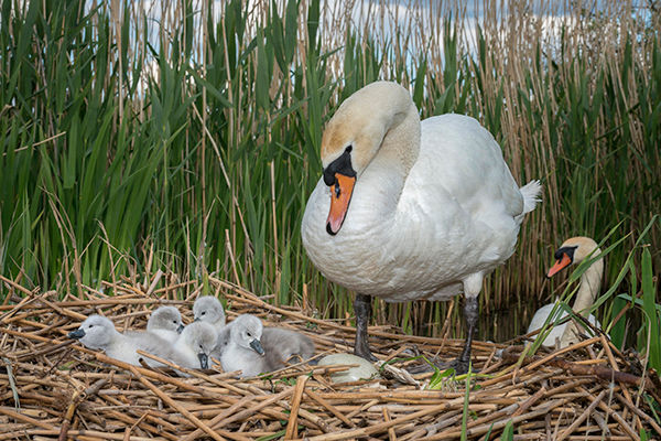 Baby swans with parents